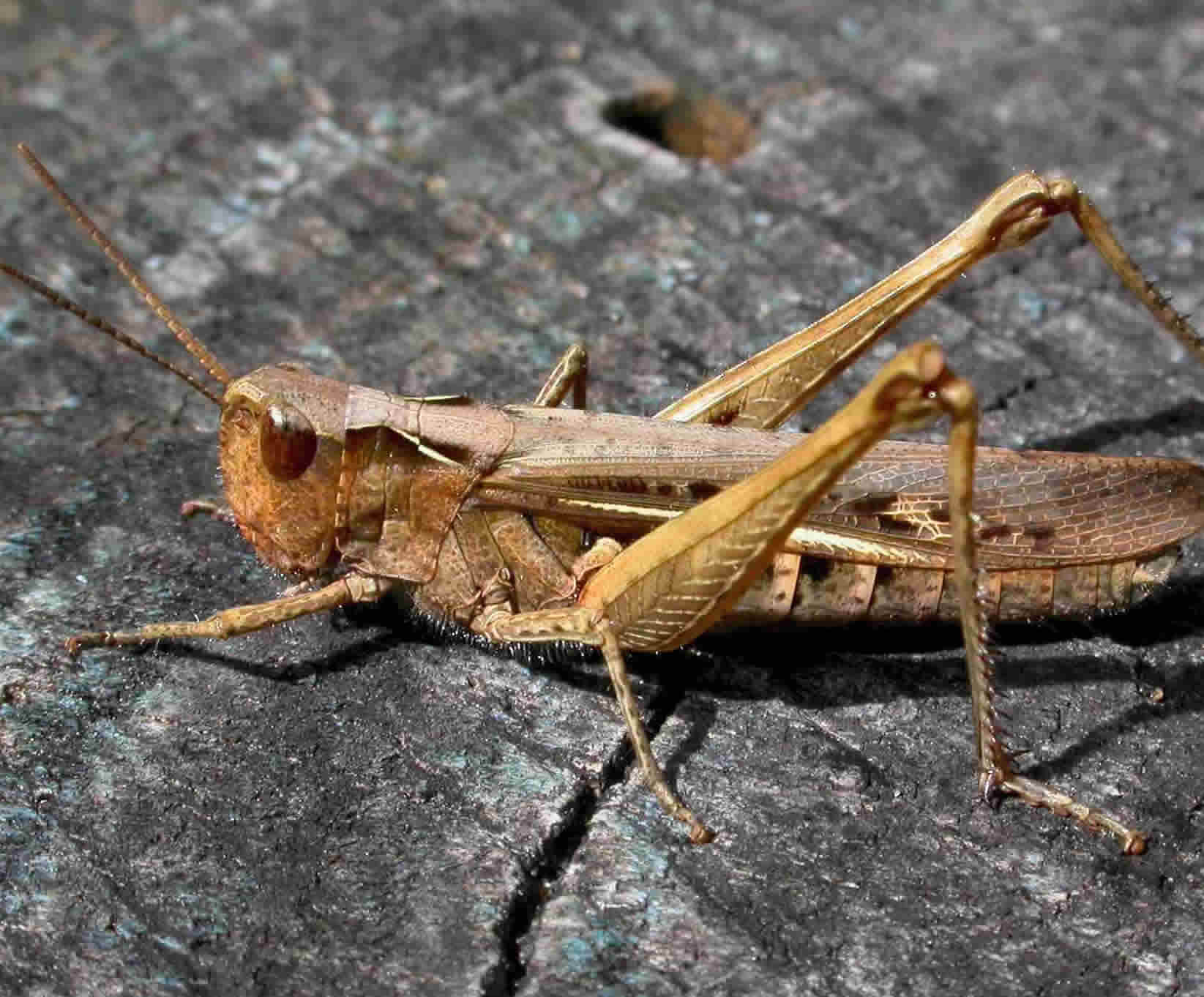 Orthoptera Gallery 1