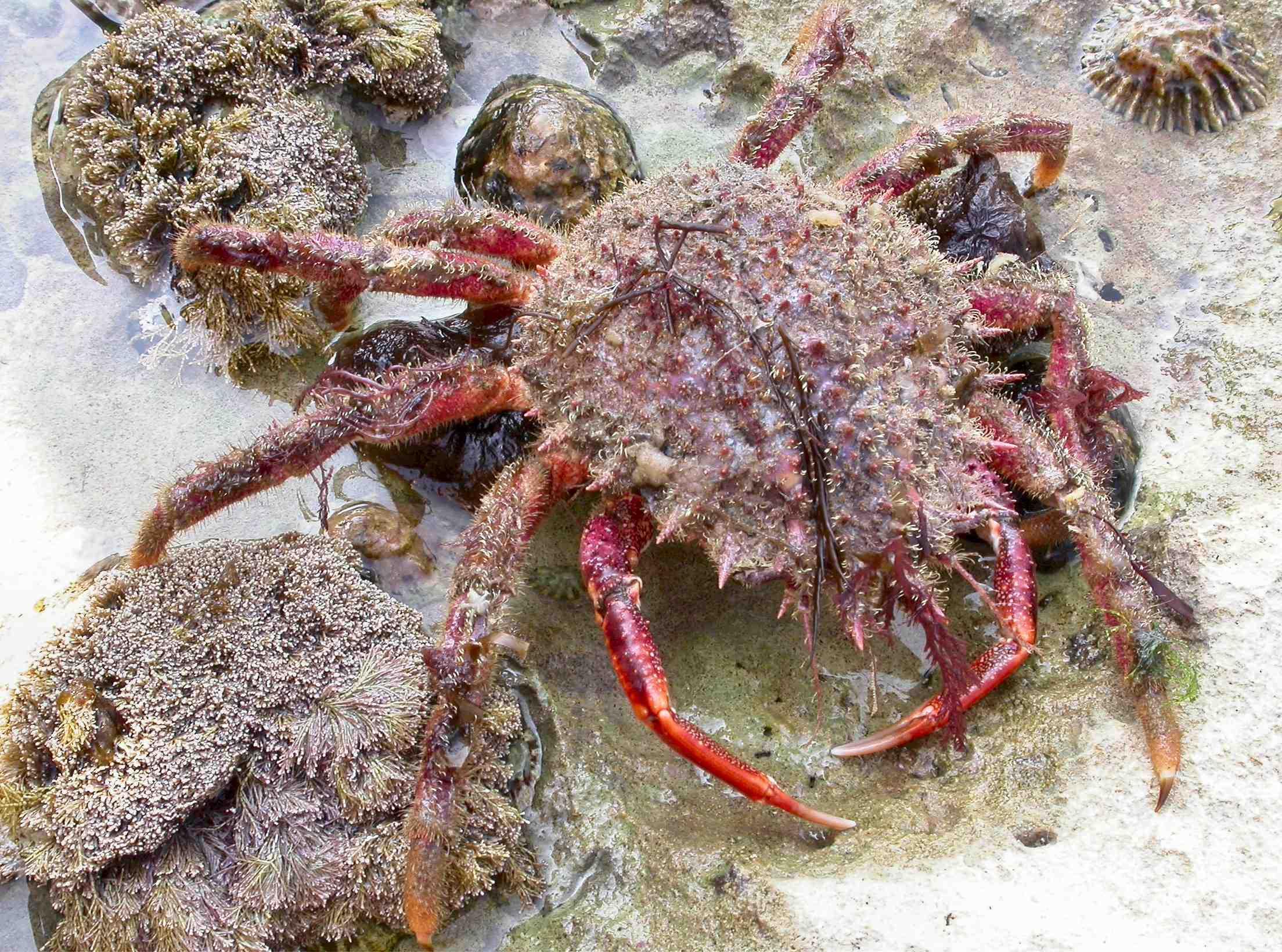 Spider crab - photo#14